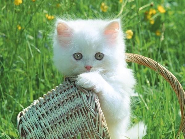 gatos-persas-cuidados-y-caracter-ternura