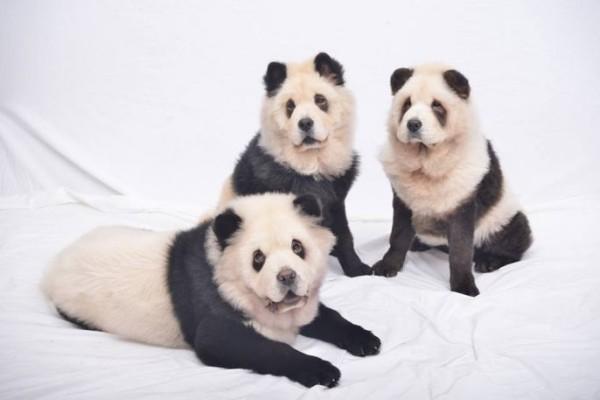 la-gran-moda-de-los-perros-panda-en-china-familia