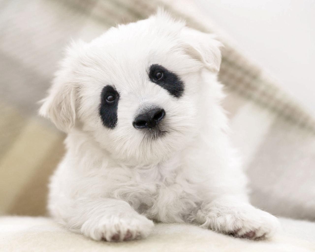 la-gran-moda-de-los-perros-panda-en-china-manchas