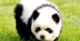 Chow Chow Panda: La gran moda de los perros panda en China