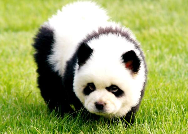 la-gran-moda-de-los-perros-panda-en-china-ternura