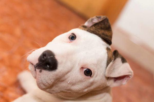 Lista de los 10 perros mas peligrosos de espana American Staffordshire Terrier