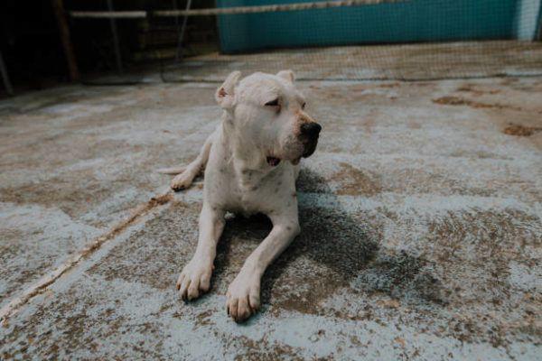 Lista de los 10 perros mas peligrosos de espana Dogo Argentino