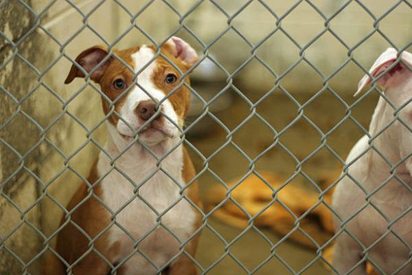 Lista de los 10 perros mas peligrosos de espana PIT BULL TERRIER
