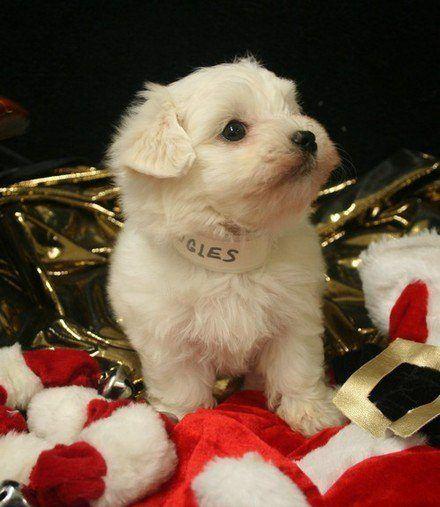 regalar-mascotas-para-navidad-perro