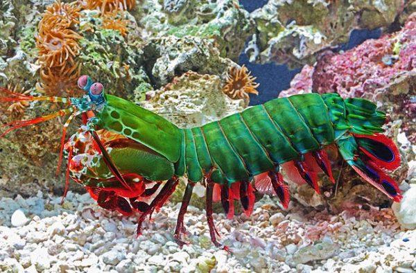 las-10-mejores-mascotas-exoticas-de-moda-camaron-mantis
