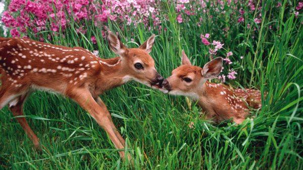 las-10-mejores-mascotas-exoticas-de-moda-ciervo-sika