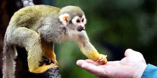 las-10-mejores-mascotas-exoticas-de-moda-mono-ardilla
