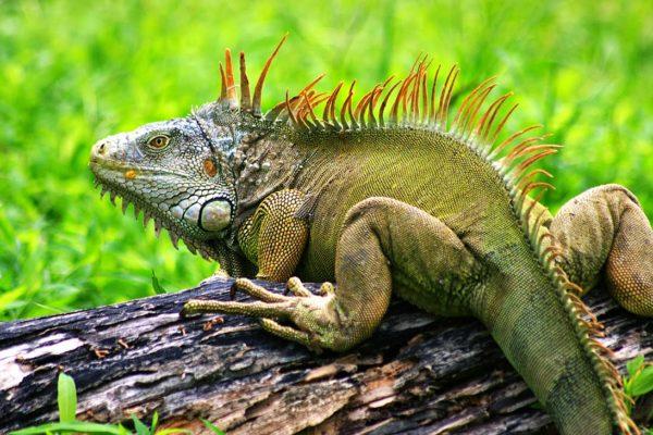 las-10-mejores-mascotas-exticas-de-moda-iguana