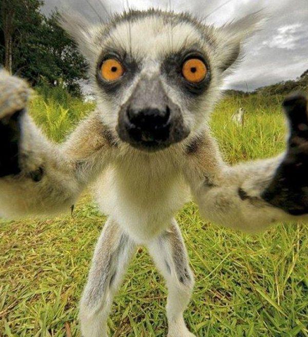 las-10-mejores-mascotas-exticas-de-moda-lemur