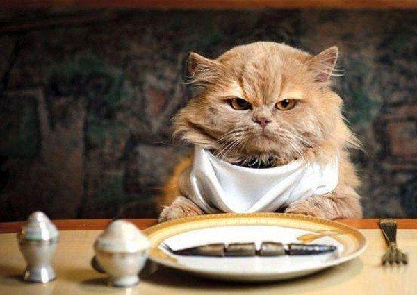 curiosidades-del-gato-persa-alimentacion