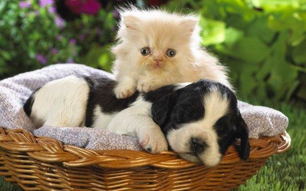 curiosidades-del-gato-persa-compañeros