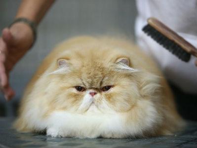 curiosidades-del-gato-persa-corte-veterinario