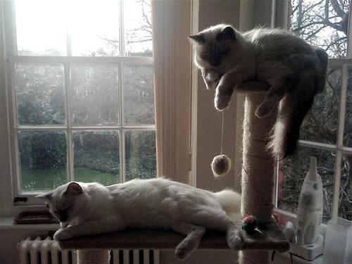 curiosidades-del-gato-persa-interior
