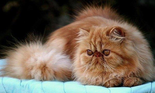 curiosidades-del-gato-persa-longevidad