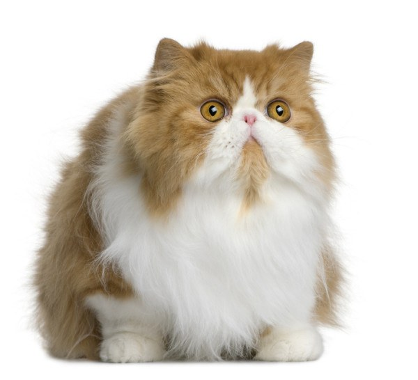 curiosidades-del-gato-persa-peke-face