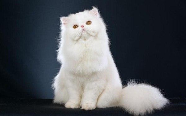 curiosidades-del-gato-persa-pelaje