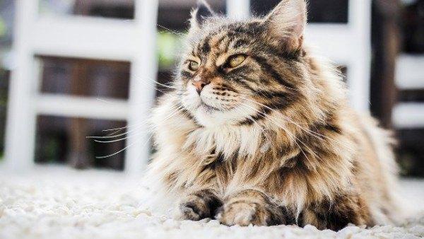 curiosidades-del-gato-persa-popular