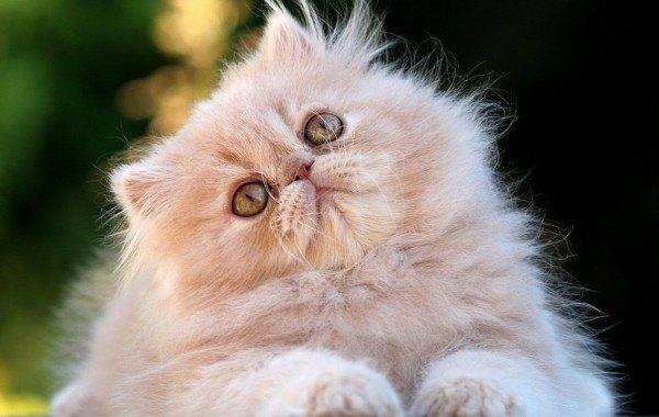 curiosidades-del-gato-persa-tesoro