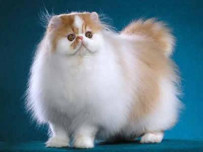 curiosidades-del-gato-persa