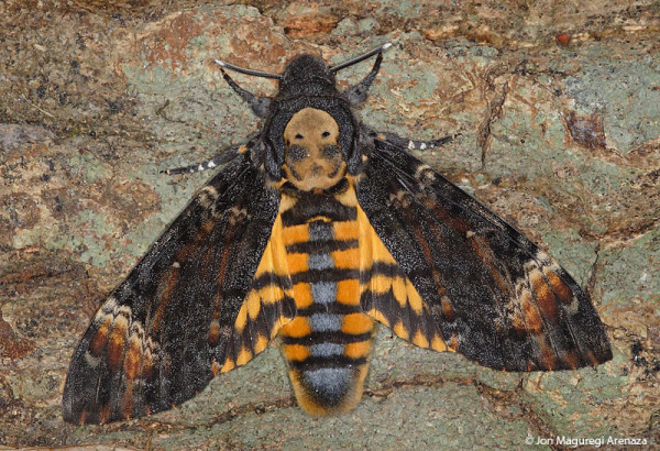 la-mariposa-de-la-muerte-acherontia-atropos