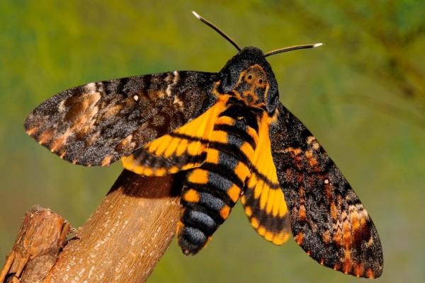 secretos-mariposa-de-la-muerte-acherontia-atropos