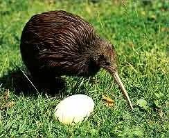 21-animales-que-solo-encontraras-en-un-lugar-del-mundo-Kiwi-Haast-Tokoeka