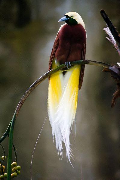 21-animales-que-solo-encontraras-en-un-lugar-del-mundo-ave-del-paraiso