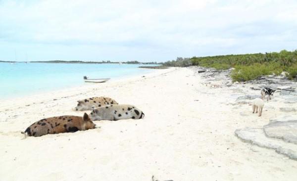 21-animales-que-solo-encontraras-en-un-lugar-del-mundo-cerdos-big-major-cay