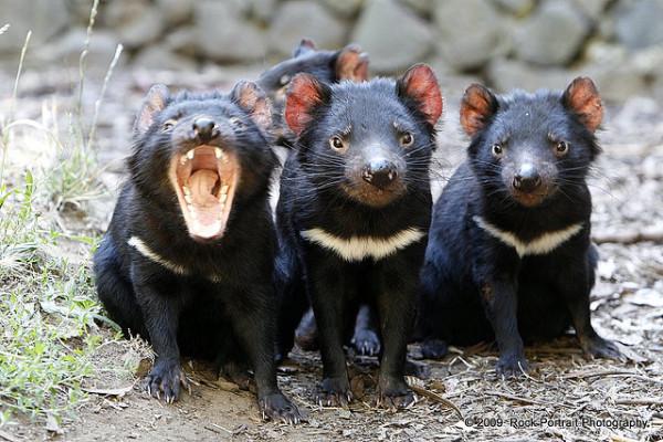 21-animales-que-solo-encontraras-en-un-lugar-del-mundo-diablo-de-tasmania