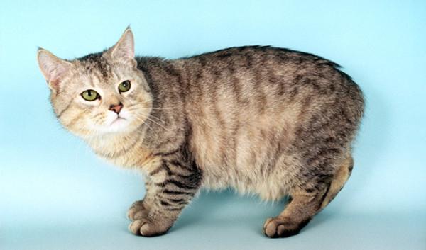 21-animales-que-solo-encontraras-en-un-lugar-del-mundo-gato-manx