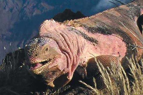 21-animales-que-solo-encontraras-en-un-lugar-del-mundo-iguana-rosa