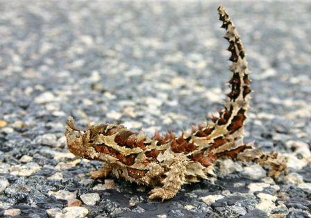 21-animales-que-solo-encontraras-en-un-lugar-del-mundo-lagarto-espinoso-del-diablo