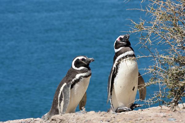21-animales-que-solo-encontraras-en-un-lugar-del-mundo-pinguino