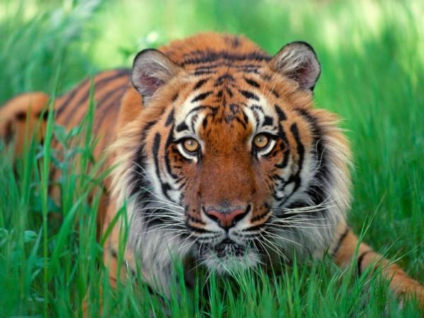 21-animales-que-solo-encontraras-en-un-lugar-del-mundo-tigre-simatra