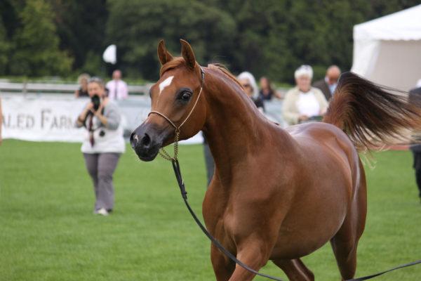 caballo-arabe-es-adecuado-para-ti