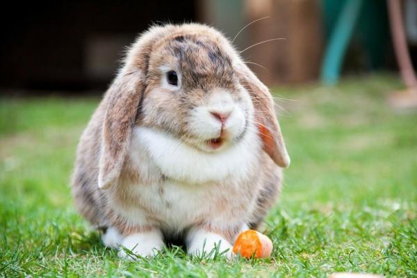 como-es-el-conejo-belier-alimentacion