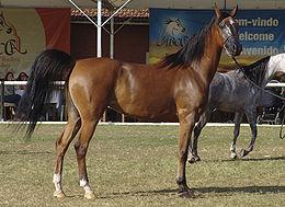 como-son-los-caballos-arabes-competicion