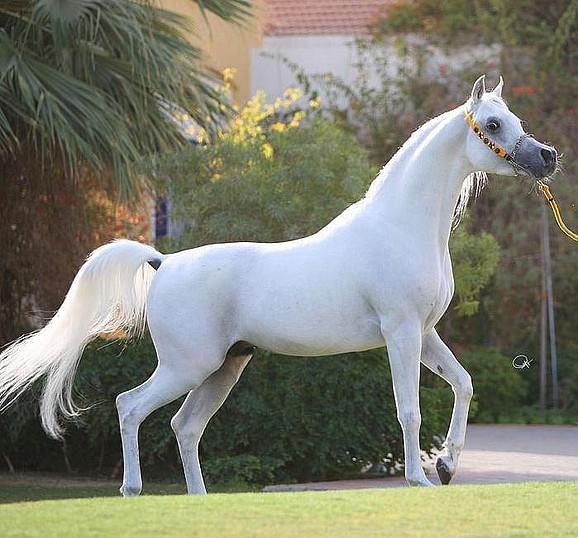 como-son-los-caballos-arabes-estilizado