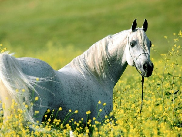 como-son-los-caballos-arabes-flores