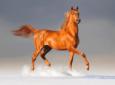 Cómo son los caballos árabes