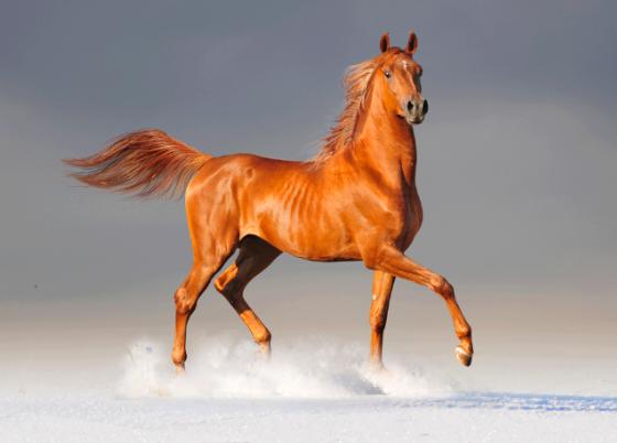 Resultado de imagen de caballos arabes