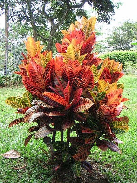conoce-las-plantas-venenosas-para-gatos-croton