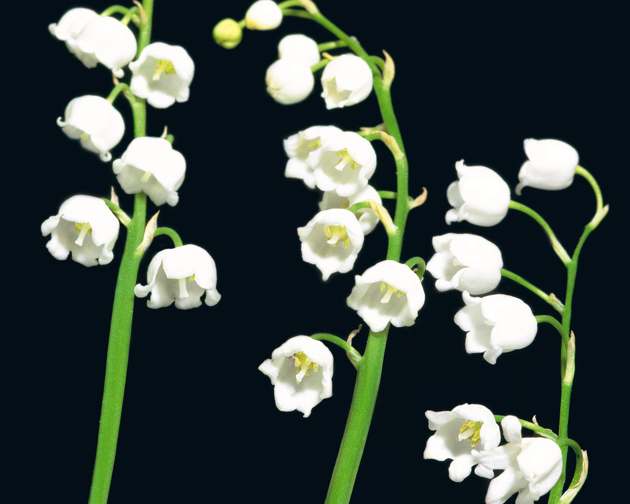 conoce-las-plantas-venenosas-para-perros-lirio-del-valle