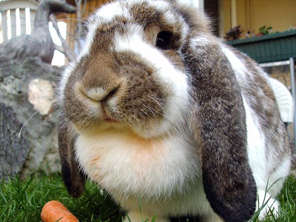 diez-cosas-sobre-el-conejo-belier