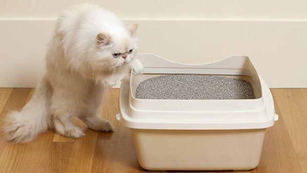 gato-persa-cuidados-arena