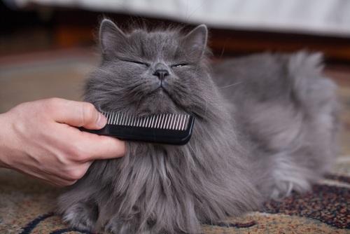 gato-persa-cuidados-peine
