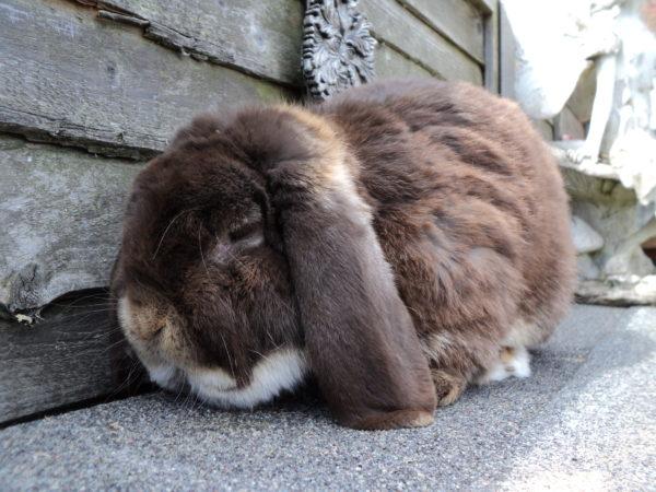 historia-del-conejo-belier