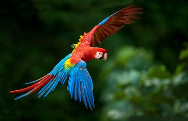 pajaros-tropicales-aves-exoticas-guacamayo-rojo-vuelo