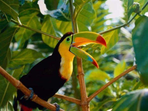 pajaros-tropicales-aves-exoticas-tucan